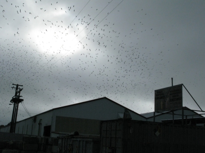 a flock of seagulls fly above the dump (the transfer station in San Francisco)