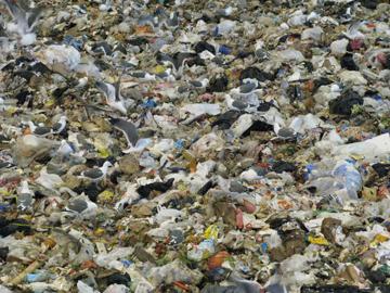seagulls scavenge through the trash