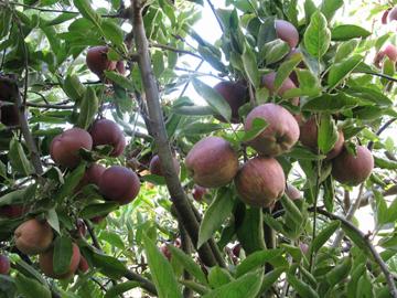 an apple tree in a san francisco backyard garden